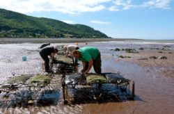Oyster farming at community business Porlock Futures