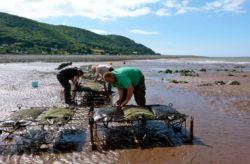 Oyster farming at community business Porlock Futures